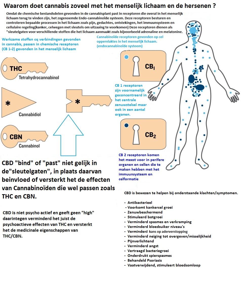 CBD-en-het-lichaam
